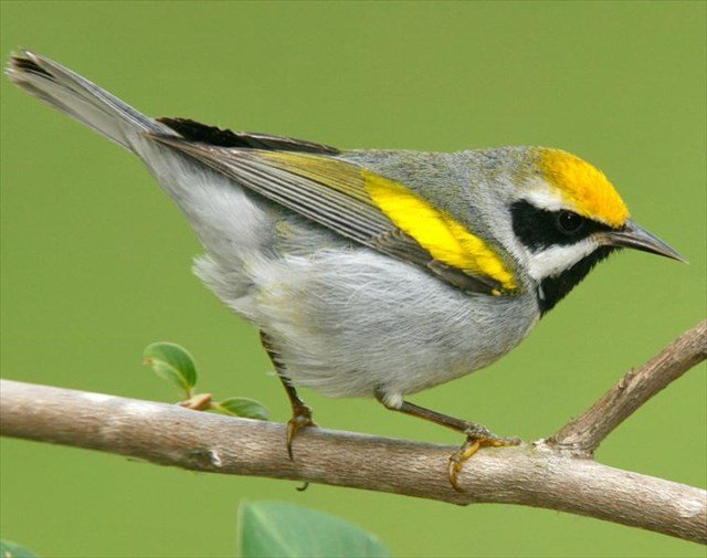 In search of the Golden-winged Warbler in Red Siskin habitat