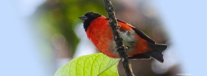 Red Siskin appears in Mongabay