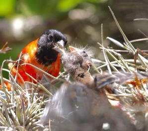 At long last: Active wild Red Siskin nests discovered in Venezuela!