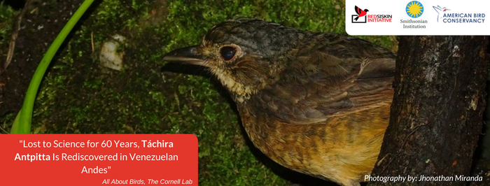 Beyond Red Siskins: Rediscovery of the long lost Táchira Antpitta