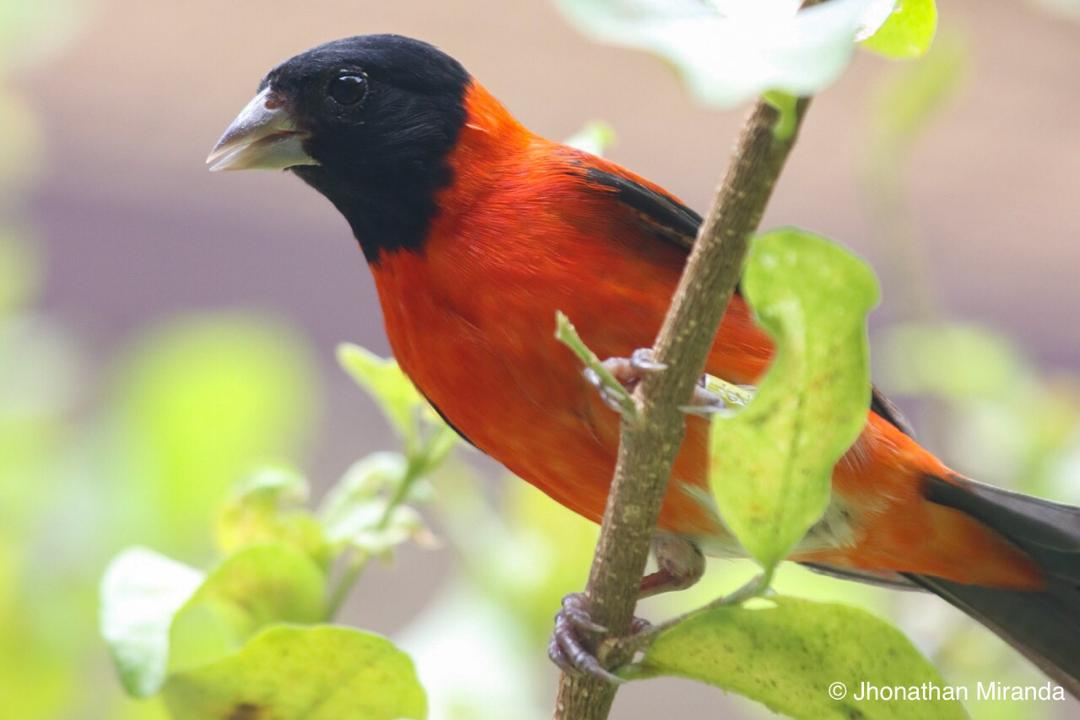 The Red Siskin Conservation Center is growing bigger