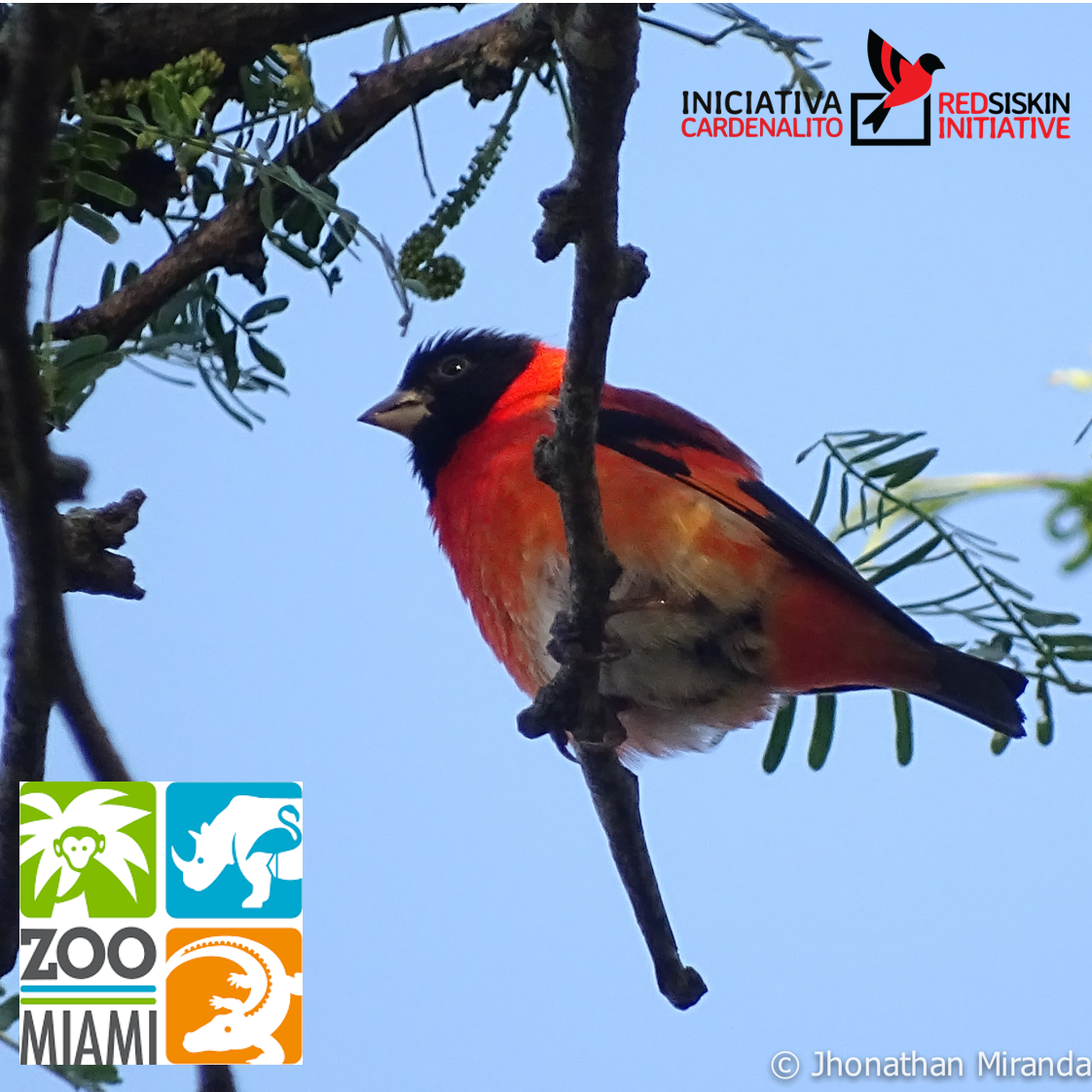 Zoo Miami: Welcome to the Red Siskin Initiative family!