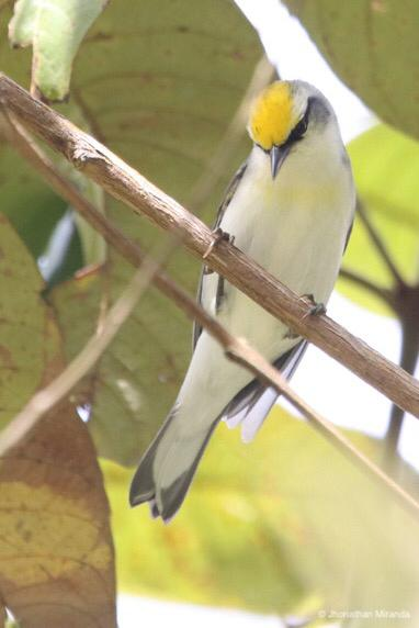 Golden-winged Warblers and new Red Siskin populations in Venezuela