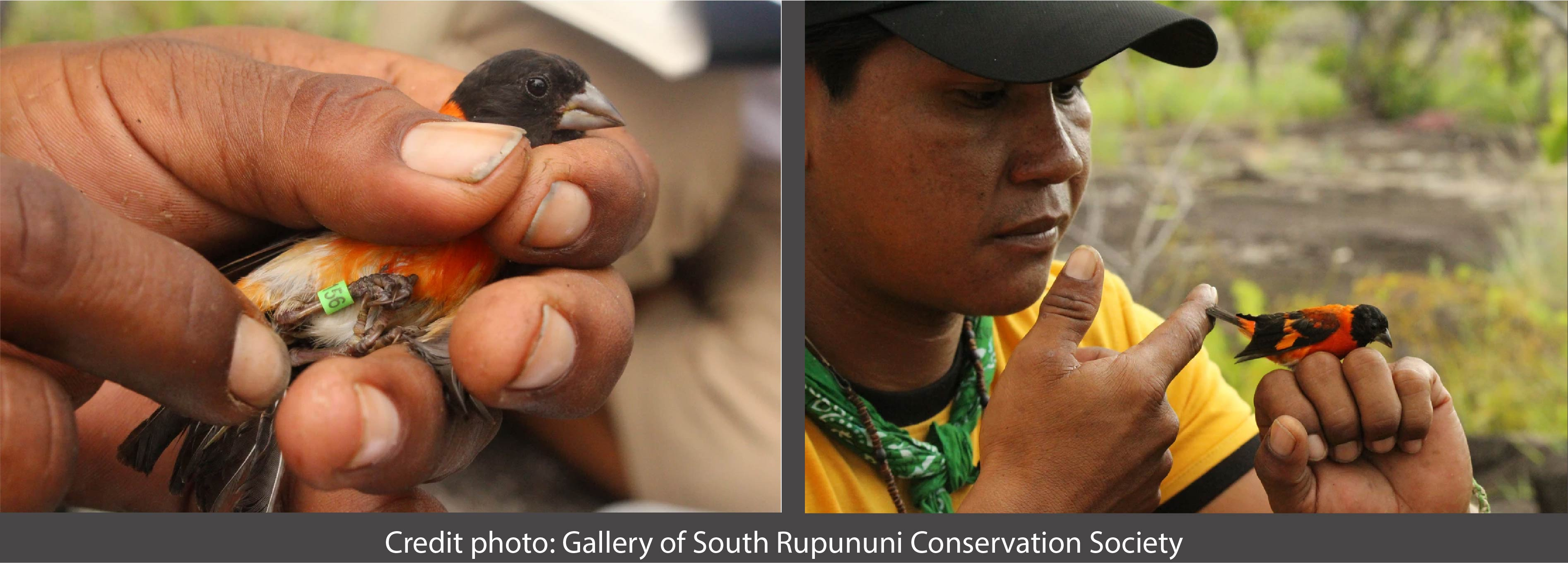 Good news for Red Siskin conservation in Guyana!