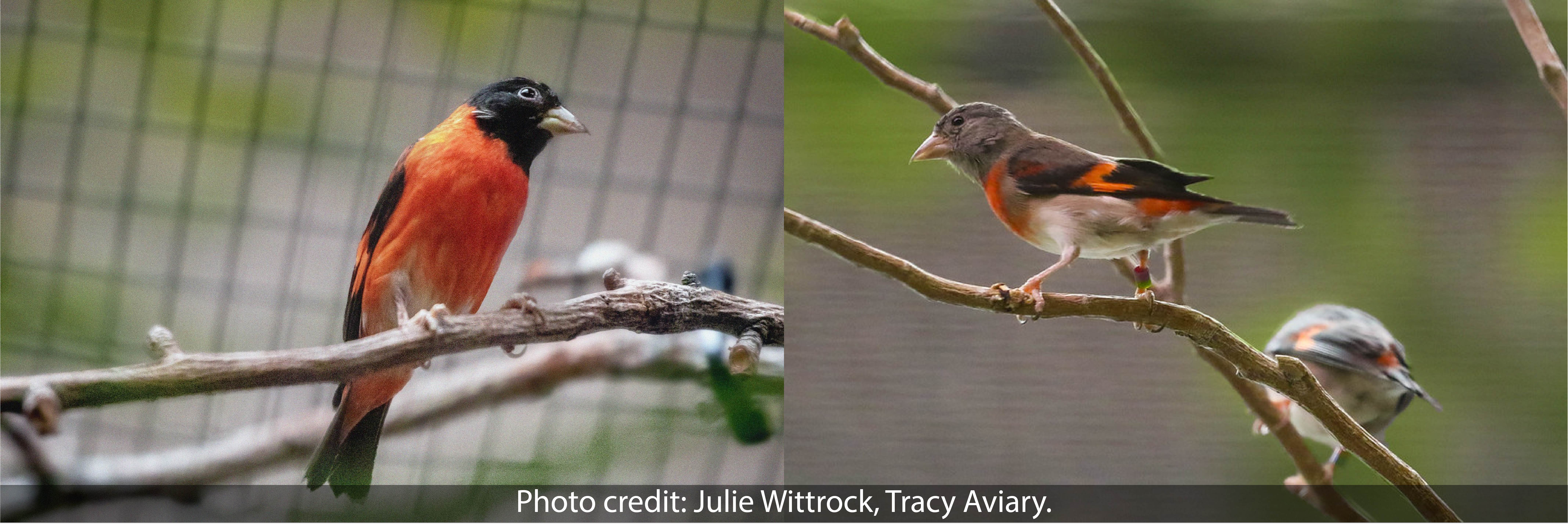 Tracy Aviary joins the Red Siskin Initiative flock!
